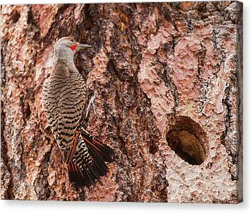 Northern Flicker Balanced On The Bark Canvas Print by Michael Qualls