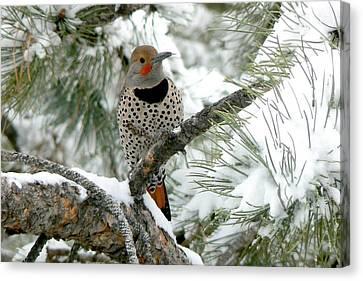 Northern Flicker On Snowy Pine Canvas Print