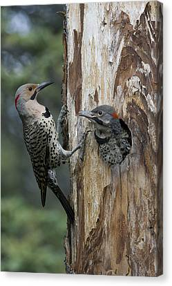 Northern Flicker Parent At Nest Cavity Canvas Print by Michael Quinton