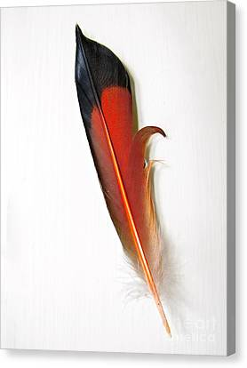 Northern Flicker Tail Feather Canvas Print by Sean Griffin