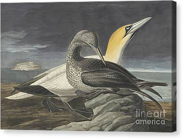 Heron Canvas Print - Northern Gannet by Celestial Images
