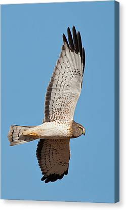 Northern Harrier ( Circus Cyaneus Canvas Print by Larry Ditto