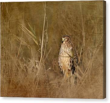 Northern Harrier At Rest Canvas Print