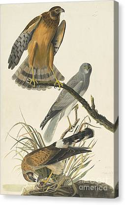 Heron Canvas Print - Northern Harrier by Celestial Images