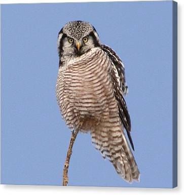 Northern Hawk Owl  Canvas Print by Larry Trupp