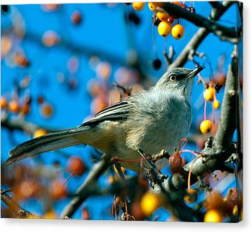Northern Mockingbird Canvas Print by Bob Orsillo
