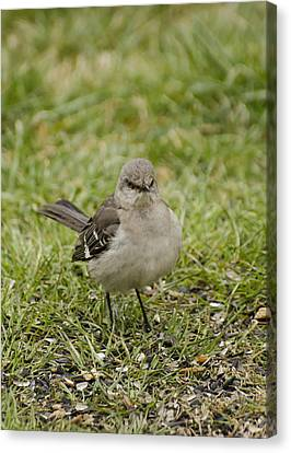 Northern Mockingbird Canvas Print by Heather Applegate