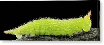 Northern Pearly-eye Caterpillar Canvas Print by Us Geological Survey