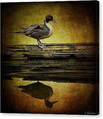 Northern Pintail Duck Canvas Print by Jordan Blackstone