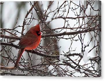 Northern Red Cardinal In Winter Canvas Print