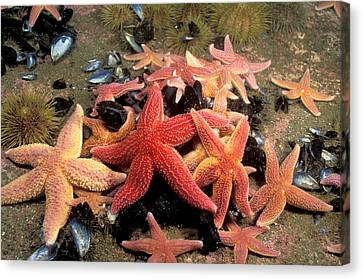 Northern Sea Stars Canvas Print by Andrew J. Martinez