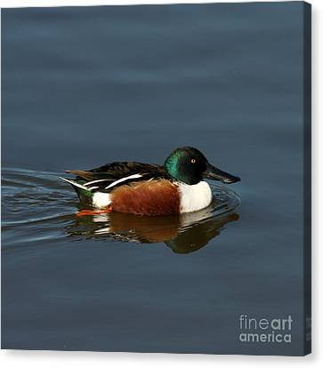 Canvas Print featuring the photograph Northern Shoveler by Bob and Jan Shriner