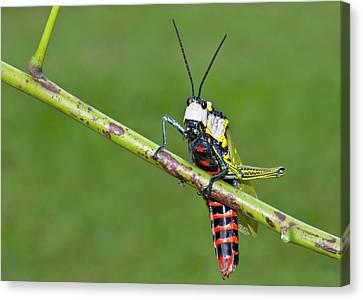 Northern Spotted Grasshopper Canvas Print by K Jayaram