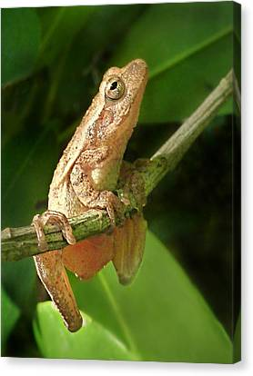 Northern Spring Peeper Canvas Print by William Tanneberger
