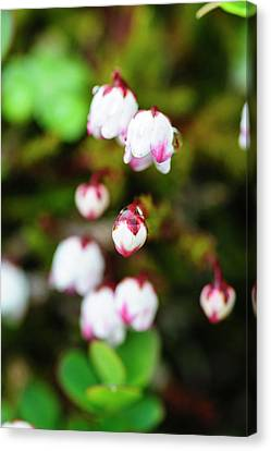 Norway Moss Bell Heather Or Mossplant Canvas Print