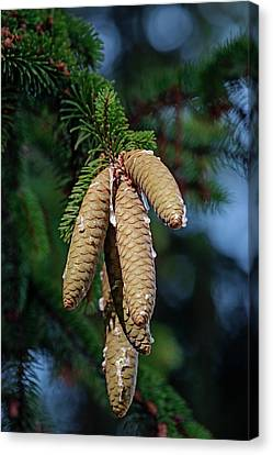 Norway Canvas Print - Norway Spruce (picea Abies) by Dr. Nick Kurzenko