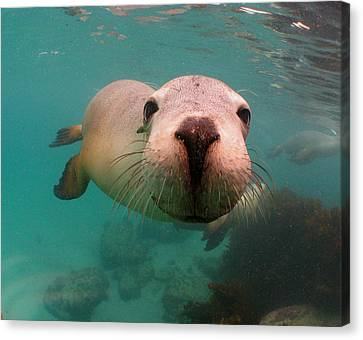 Nosey Sea Lion Canvas Print by Crystal Beckmann