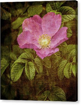 Nostalgic Rose Canvas Print by Karen Stephenson