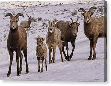 Canvas Print featuring the photograph Not Too Sheepish by Priscilla Burgers