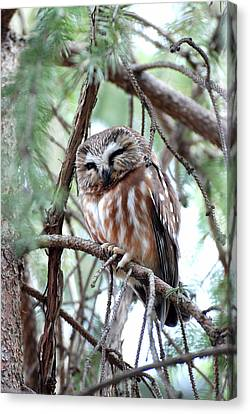 Northern Saw-whet Owl 2 Canvas Print