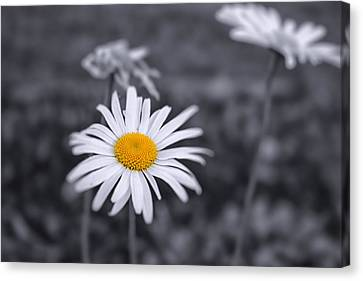 November Daisy Canvas Print by Brian Caldwell