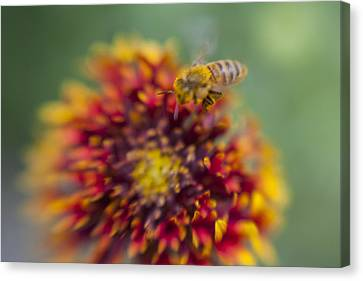 Now Rare Honey Bee 1 Canvas Print by Scott Campbell