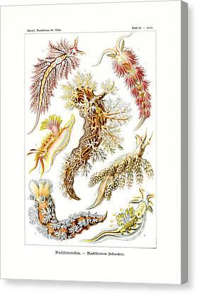Nudibranchia Canvas Print by Ernst Haeckel