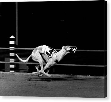 Number 3 Greyhound Running Hard Canvas Print