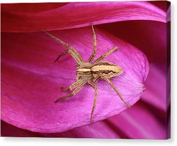 Nursery Web Spider Canvas Print by Nigel Downer