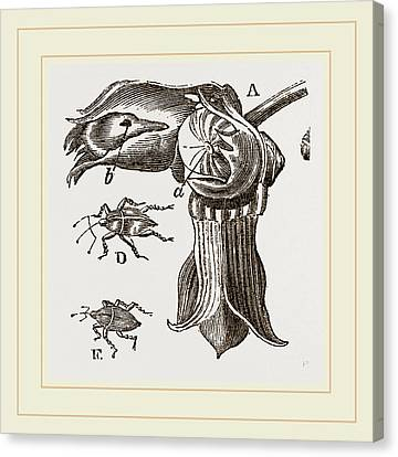 Apple Tree Canvas Print - Nut And Apple-tree Weevils by Litz Collection