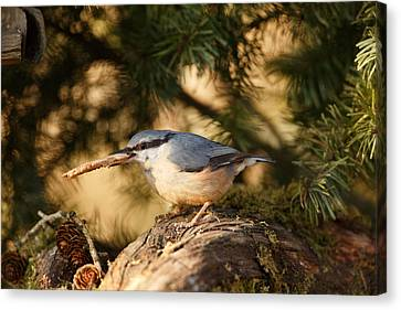 Nuthatch Collecting Nesting Material Canvas Print