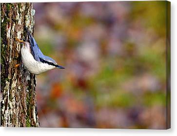 Bokhe Canvas Print - Nuthatch Sitta Europaea by Tommytechno Sweden