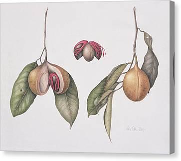 Nutmeg  Canvas Print by Margaret Ann Eden