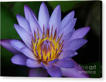 Nymphaea Caerulea  - Blue Egyptian Water Lily - Sacred Blue Water Lily - Nympheas Canvas Print by Sharon Mau