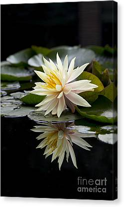 Aquatic Plant Canvas Print - Nymphaea Maria And Reflection by Tim Gainey