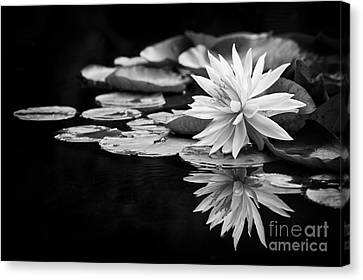 Aquatic Plant Canvas Print - Nymphaea Maria by Tim Gainey
