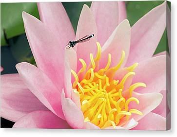 Perennial Canvas Print - Nymphaea 'pink Sensation' by Adrian Thomas