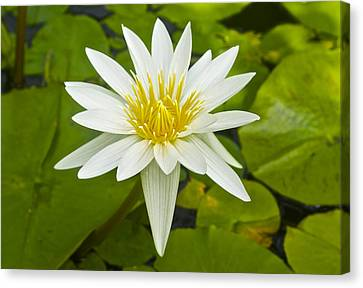 Nymphaea Water Lily Canvas Print by Venetia Featherstone-Witty