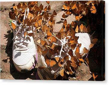 Nymphalid Butterflies Salt Puddle Feeding Canvas Print by Paul D Stewart
