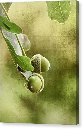 Oak Acorns Canvas Print
