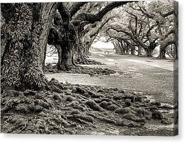 Oak Alley Canvas Print by William Beuther