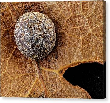 Oak Gall Canvas Print by Us Geological Survey