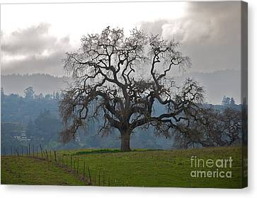 Oak In Fog Canvas Print