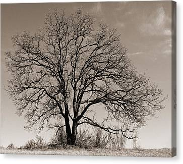Canvas Print featuring the photograph Oak In Sepia by Lula Adams