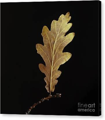 Oak Leaf Canvas Print by Bernard Jaubert
