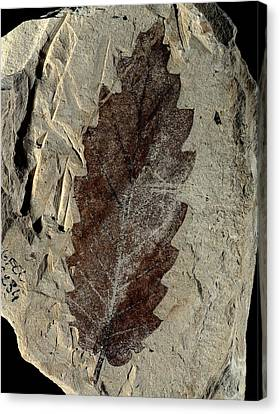 Oak Leaf Fossil Canvas Print