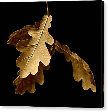 John Tidball Canvas Print - Oak Leaves In Autumn by Bishopston Fine Art