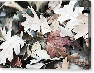 Oak Leaves In Fall Canvas Print by Gary Brandes