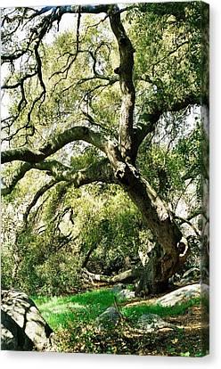 Oak Spirit Canvas Print by Kathy Bassett