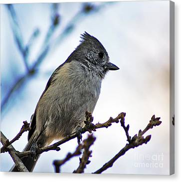 Canvas Print featuring the photograph Oak Titmouse by Gary Brandes